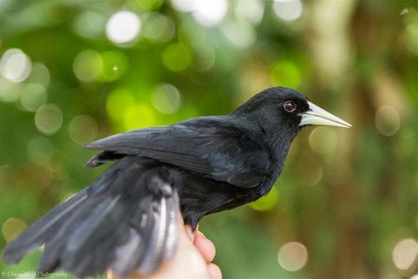 Solitary Black Cacique (Cacicus solitarius) -- 2016