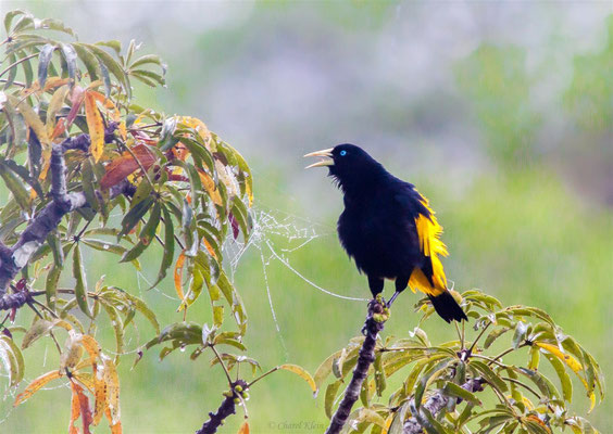 Yellow-rumped Cacique (Cacicus cela)  -- Peru / Centro De Rescate Taricaya