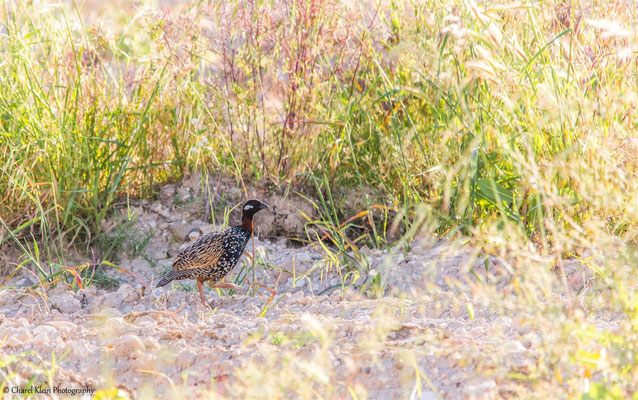 Black Francolin (Francolinus francolinus) -- Birdingtrip Turkey 2015
