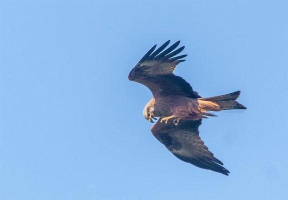 Black Kite    (Milvus migrans)    -- Luxembourg