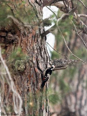 Syrian Woodpecker     (Dendrocopos syriacus)    --    Birdingtrip Turkey 2015