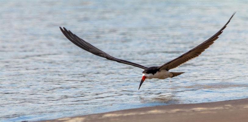 Black Skimmer (Rynchops niger)   -- Peru / Centro De Rescate Taricaya
