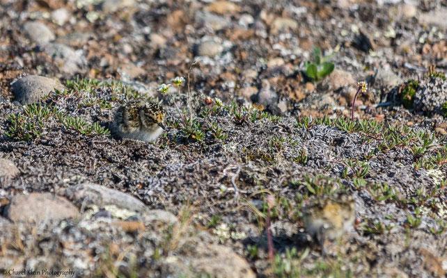 Sanderling    (Calidris alba)   --   Traill / Karupelv Valley Project / Greenland   --   July 2015