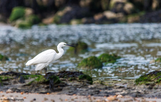 Little Egret       (Egretta garzetta)   -- Roadtrip 2014    / France