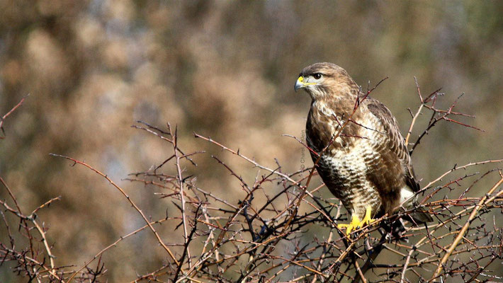 Common Buzzard     (Buteo buteo)   -- Zeeland / Nederlands