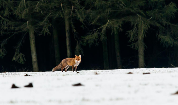 Red fox     (Vulpes vulpes) -- Luxembourg