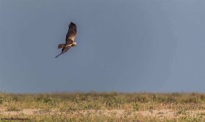 Marsh-harrier    (Circus aeruginosus)   -- Birdingtrip Turkey 2015