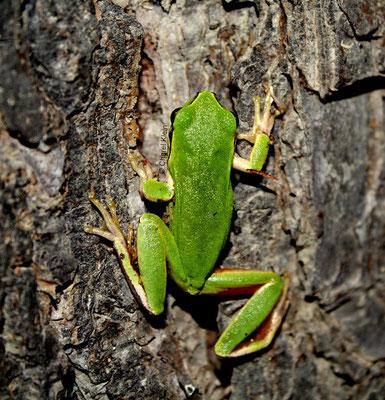 European tree frog --Camargue/France