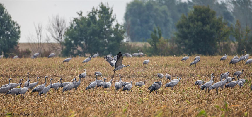 Common Cran   (Grus grus)   --   Darss / Germany   --  September 2014