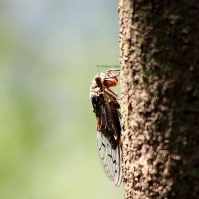 Zikaden / Cicada(Auchenorrhyncha)