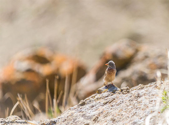 Grey-necked Bunting    (Emberiza buchanani)    -- Lake Van / Birdingtrip Turkey 2015