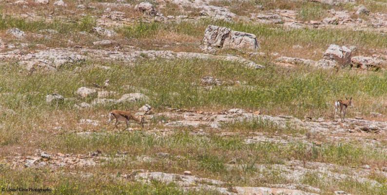Goitered gazelle    (Gazella subgutturosa)    -- Birdingtrip Turkey 2015