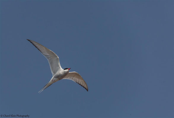 Arctic Tern    (Sterna paradisaea)  -- Traill / Karupelv Valley Project / Greenland  -- July 2015
