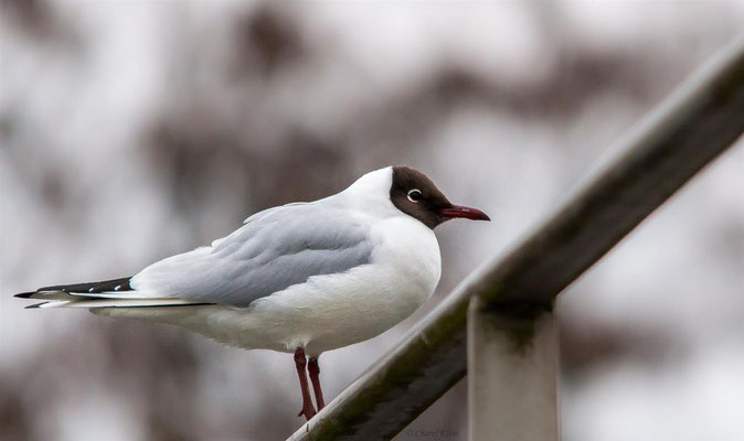 Black-headed gull (Chroicocephalus ridibundus) -- Luxembourg