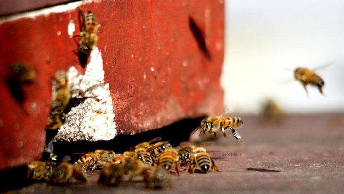 Westliche Honigbiene / Western honey bee (Apis mellifera)
