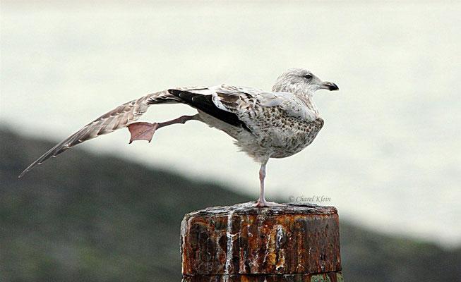 Hering Gull   (Larus argentatus) -- Zeeland / Netherlands