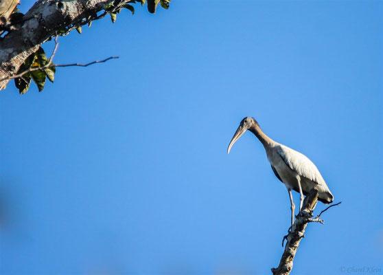 Waldstorch     Wood Stork   (Mycteria americana) -- Peru / Centro De Rescate Taricaya