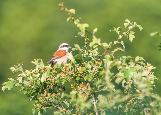 Red-backed shrike   (Lanius collurio)  -- Luxembourg