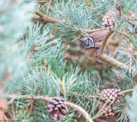 European Crested Tit   (Lophophanes cristatus)   --   Darss / Germany   -- September 2014