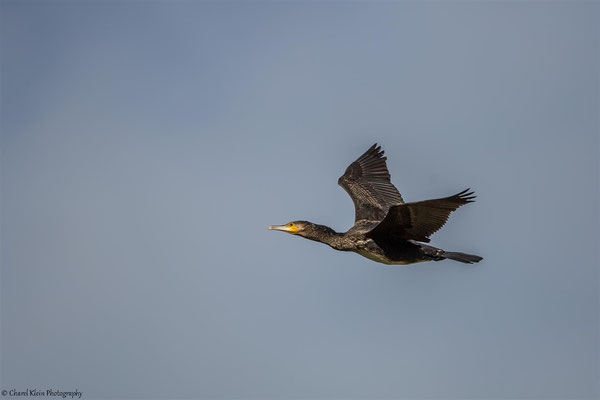 Great Cormorant (Phalacrocorax carbo)  -- Darss / Germany -- September 2014