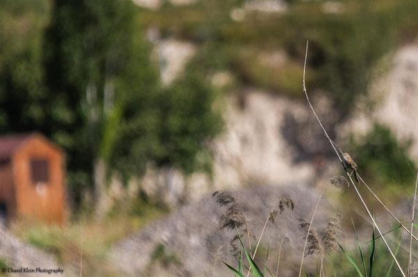 Iraq Babbler (Turdoides altriostris) -- Birdingtrip Turkey 2015