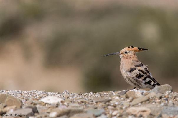 Hoopope      (Upupa epops) -- Birdingtrip Turkey 2015