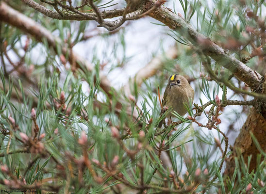 Goldcrest   (Regulus regulus)   --   Darss / Germany   --   September 2014