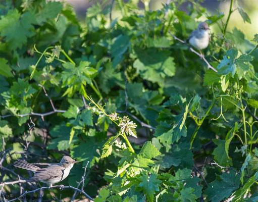 Eastern Olivaceous Warbler (Iduna pallida) -- Birdingtrip Turkey 2015