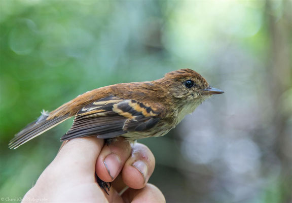 Bran-colored Flycatcher (Myiophobus fasciatus amazonius) -- 2016