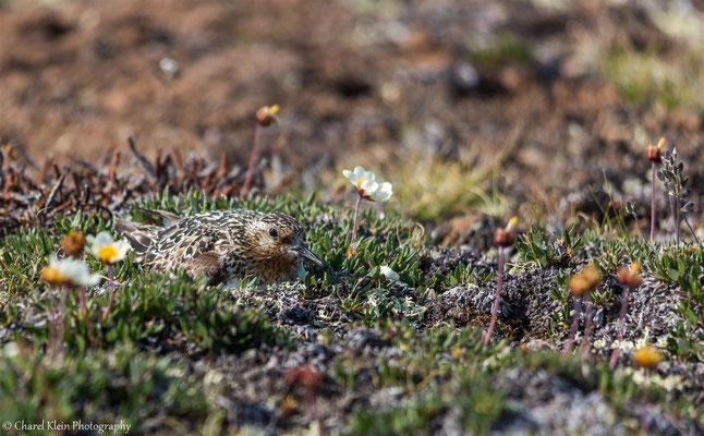 Sanderlingnest
