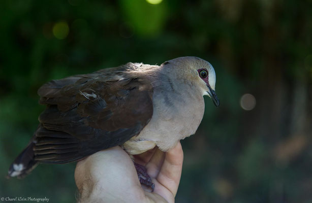 Grey-fronted Dove (Leptotila rufaxilla) -- 2016