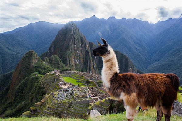 Llama  -- Peru / Centro De Rescate Taricaya