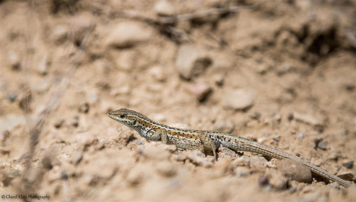 Lizard in Turkey    -- Birdingtrip Turkey 2015