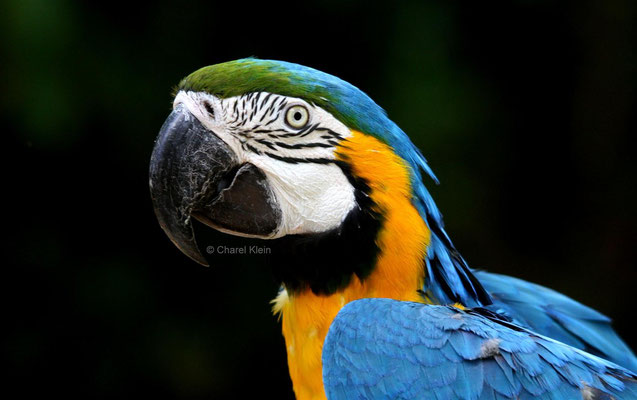 Blue-and-yellow Macaw (Ara ararauna) -- Amniville/zoo
