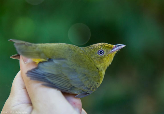 Band-tailed Manakin - female (Pipra fasciicauda fasciicauda) -- 2016