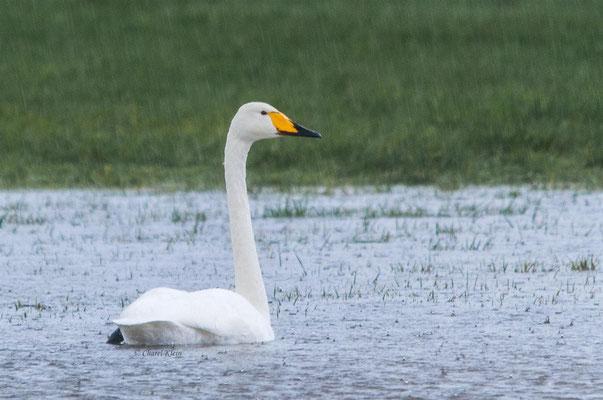 Singschwan   Whooper Swan    (Cygnus cygnus)