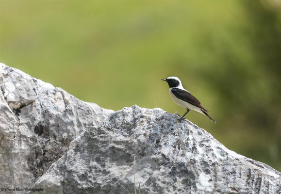 Eastern Black-eared Wheatear    (Oenanthe hispanica melanoleuca)    -- Birding Turkey