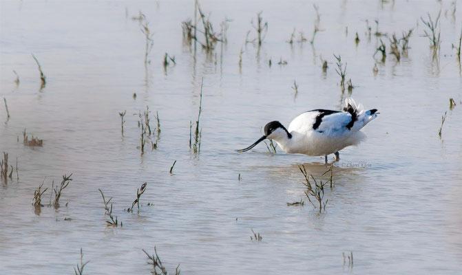 Säbelschnäbler     Pied Avocet  (Recurvirostra avosetta)  -- Belgium