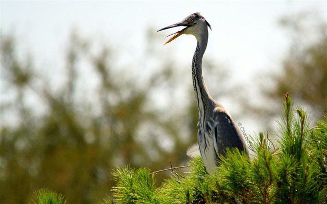 Grey Heron (Ardea cinerea) -- Camargue / France -- Camargue / France
