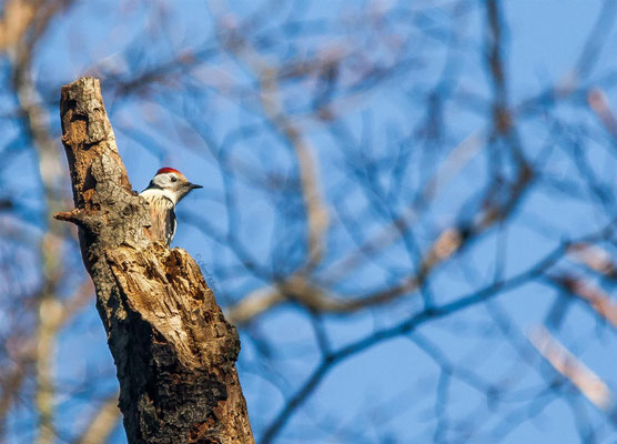 Middle Spotted Woodpecker (Dendrocopos medius) -- Germany