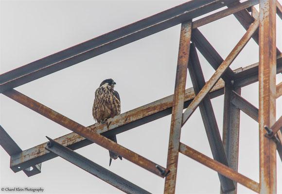 Eleonora's Falcon    (Falco eleonorae)    --   Birdingtrip Turkey 2015