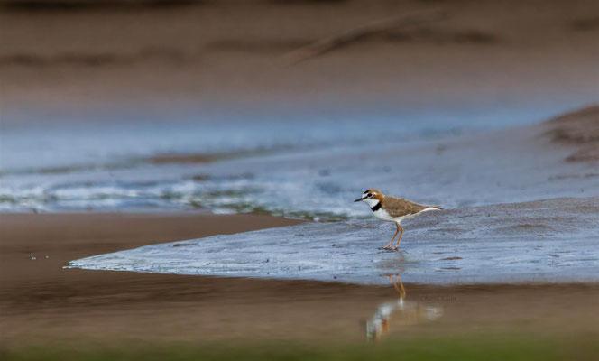 Collared Plover   (Charadrius collaris)  -- Peru / Centro De Rescate Taricaya -- July 2013