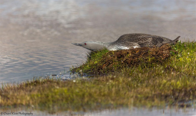Red-throated Loon   (Gavia arctica)   --   Trail / Karupelv Valley Project / Greenland   --   2015