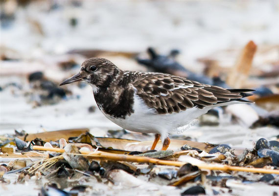 Ruddy Turnstone (Arenaria interpres) -- Zeeland / Netherlands -- December 2012