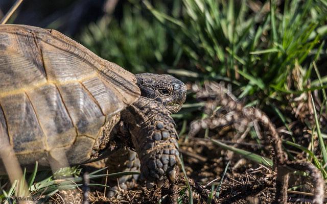 Turtle in Turkey    --    Birdingtrip Turkey 2015