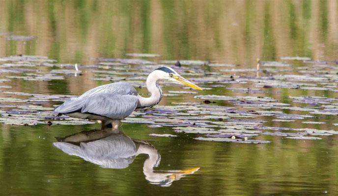 Grey Heron (Ardea cinerea) -- Camargue / France -- Saint Louis / France