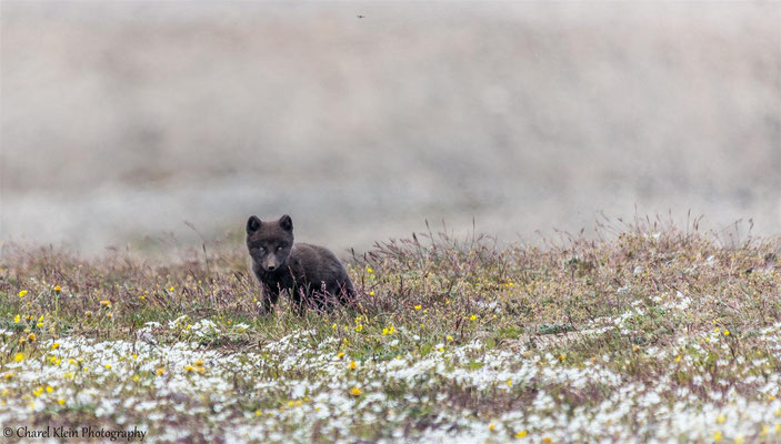 Arctic fox   (Vulpes lagopus)   --   Traill / Karupelv Valley Project / Greenland   -- 2015