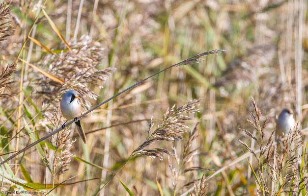 Bearded Reedling (Panurus biarmicus) -- Darss / Germany -- September 2014