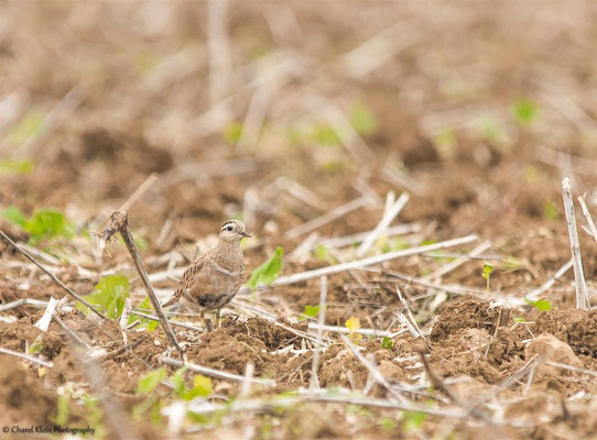 Eurasian Dotterel  (Charadrius morinellus)  --  Germany   -- August 2014