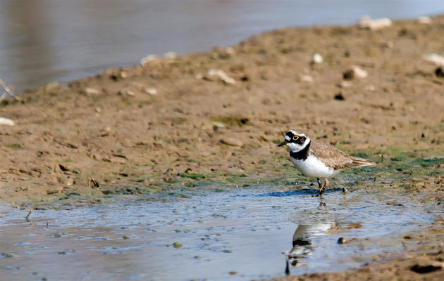 Little Ringed Plover (Charadrius dubius) -- Luxembourg